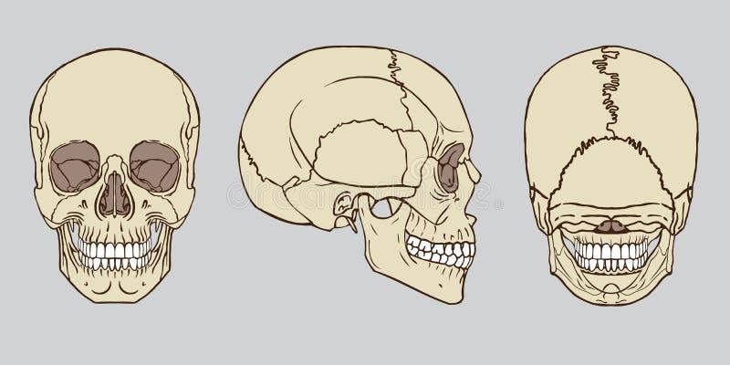 Vecteur humain de paquet d'anatomie de crâne illustration stock