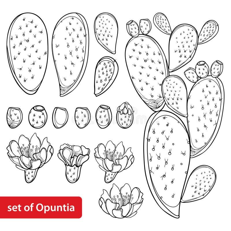 Vecteur réglé avec l'opuntia de figue de Barbarie de cactus d'ensemble ou la plante de figue de Barbarie, le fruit, la fleur et illustration de vecteur