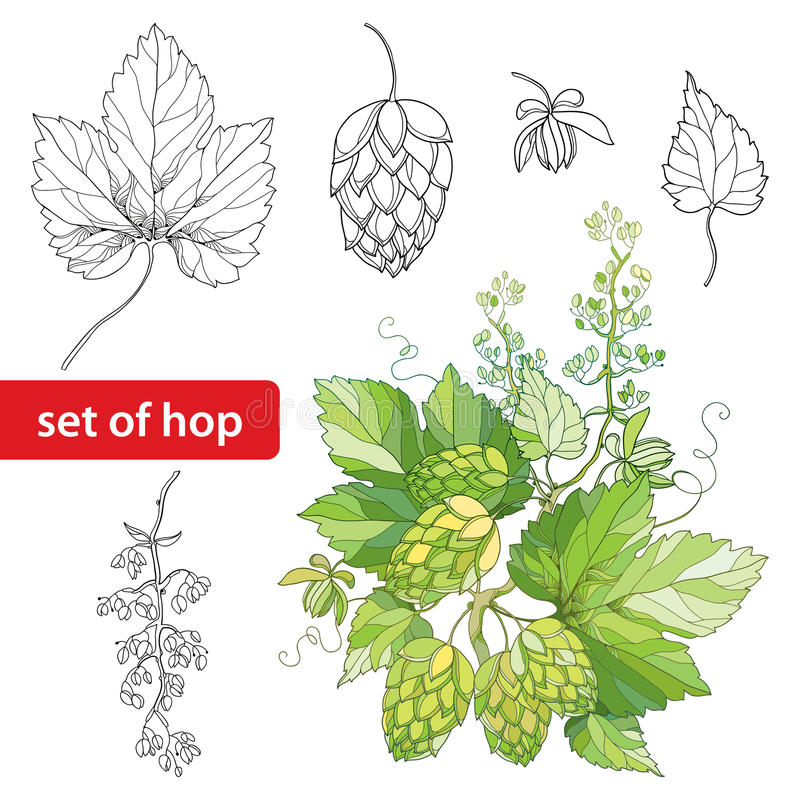Vecteur réglé avec les houblon ou le Humulus fleuris Cônes, feuilles, branche dans le noir sur le fond blanc illustration libre de droits