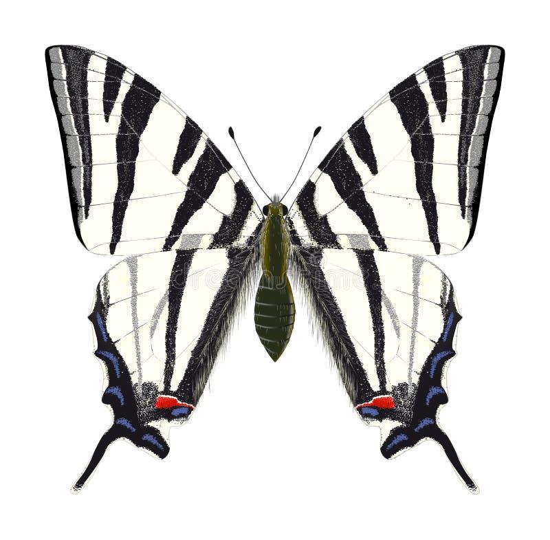 vecteur rare de swallowtail illustration libre de droits