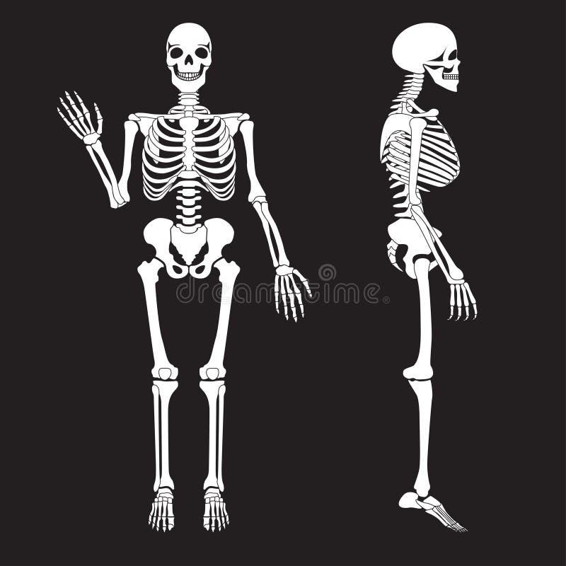 Vecteur squelettique de silhouette d'os humains Anatomie de corps humain illustration stock