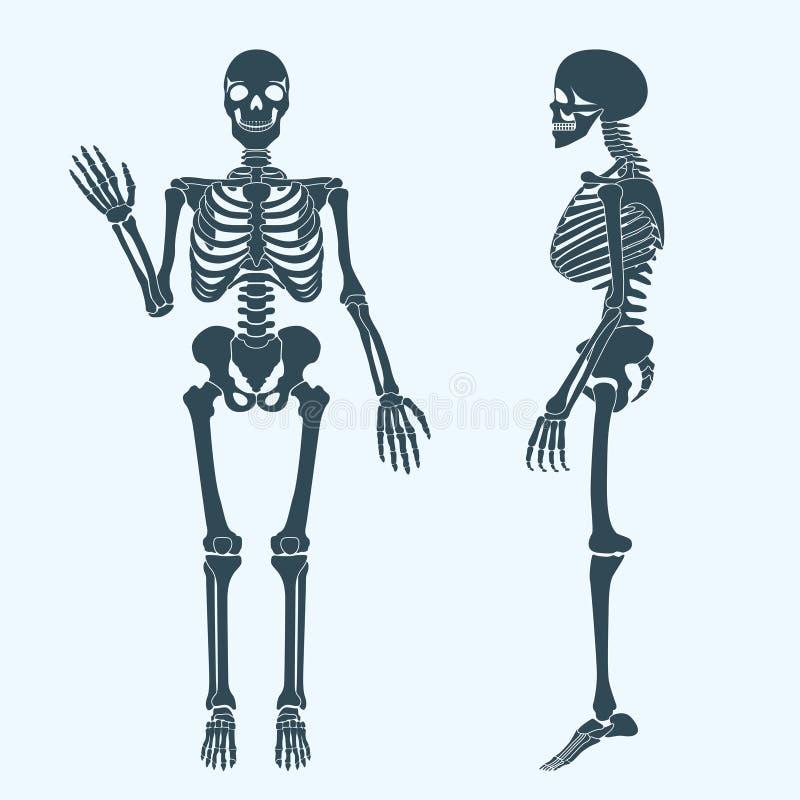 Vecteur squelettique de silhouette d'os humains Anatomie de corps humain illustration libre de droits