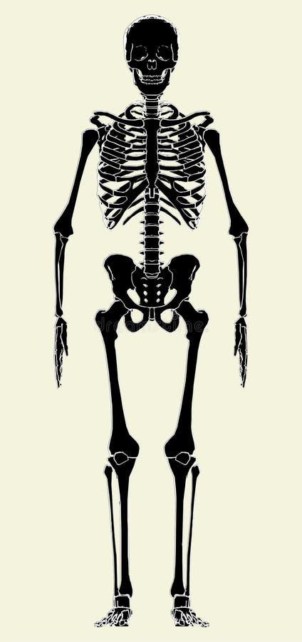 Vecteur squelettique humain 01 illustration libre de droits