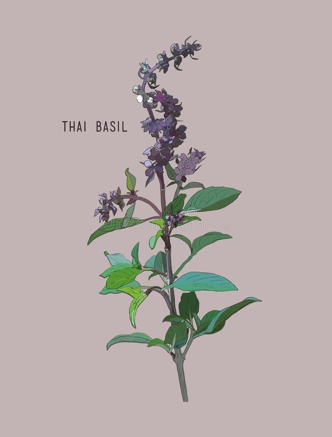 Vecteur thaïlandais de basilic illustration de vecteur