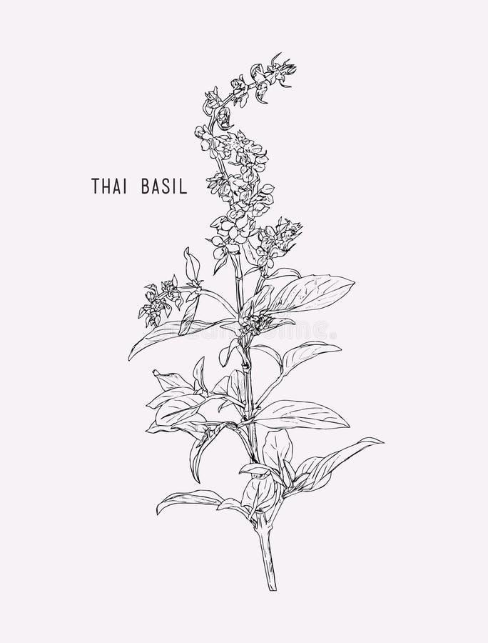 Vecteur thaïlandais de basilic illustration libre de droits