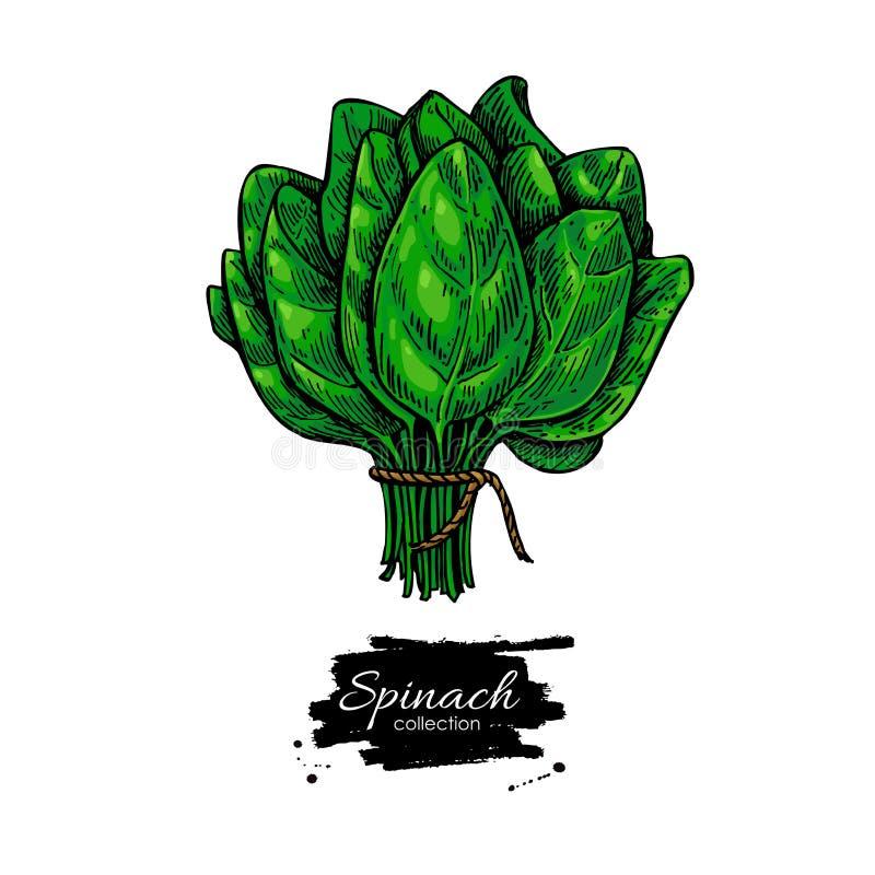 Vecteur tiré par la main de groupe d'épinards Illustration végétale illustration stock
