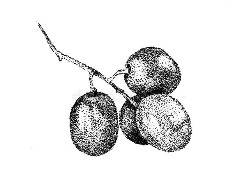 Vecteur tiré par la main de raisin image libre de droits