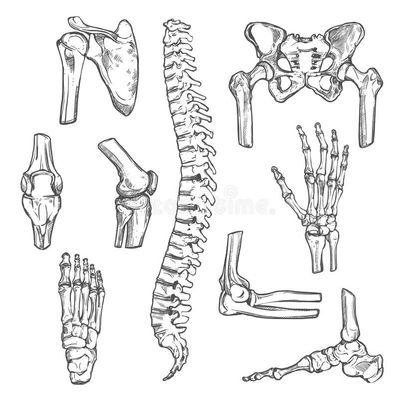 Vector ícones do esboço dos ossos e das junções do corpo humano ilustração stock