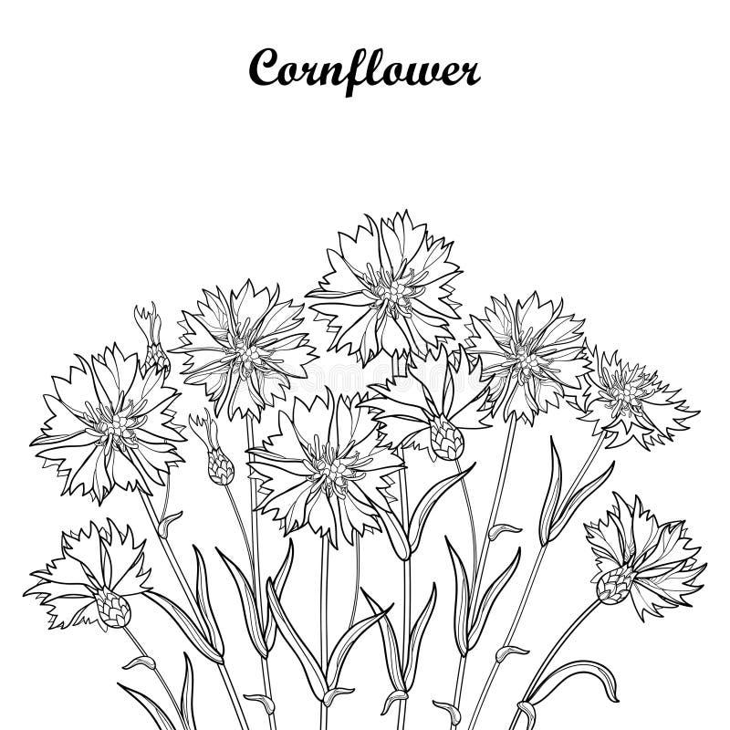 Vector букет при цветок Cornflower или Knapweed или василёка плана, бутон и лист в черноте изолированные на белой предпосылке бесплатная иллюстрация