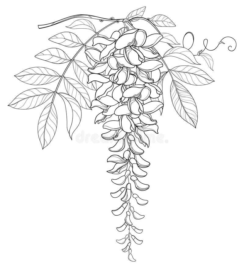 Vector ветвь пук цветка глицинии или Wistaria плана, бутон и лист в черноте изолированные на белой предпосылке иллюстрация вектора