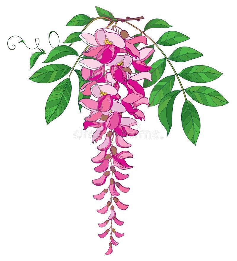 Vector ветвь пук цветка глицинии или Wistaria плана в пастельном пинке, бутоне и богато украшенных зеленых лист изолированных на  иллюстрация вектора