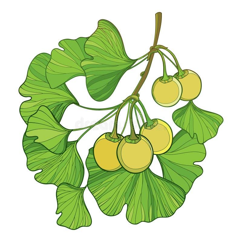 Vector ветвь с деревом biloba Gingko или гинкго плана Пук при зеленые лист и плодоовощ изолированные на белой предпосылке иллюстрация вектора