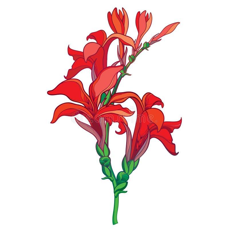 Vector ветвь с лилией Canna плана или Canna, пук цветка и бутон в красном цвете изолированные на белой предпосылке как желание фл иллюстрация штока