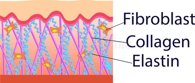 Vector иллюстрация клеток структуры с коллагеном, эластином и фиброцитом иллюстрация вектора