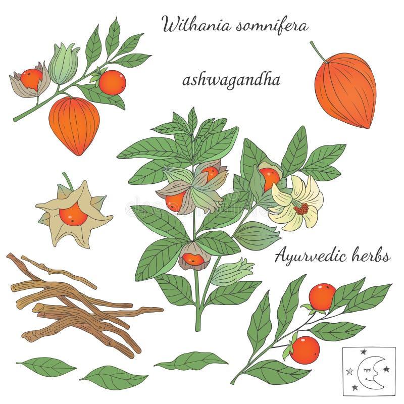 Vector иллюстрация нарисованная рукой ayurvedic ashwagandha завода иллюстрация вектора