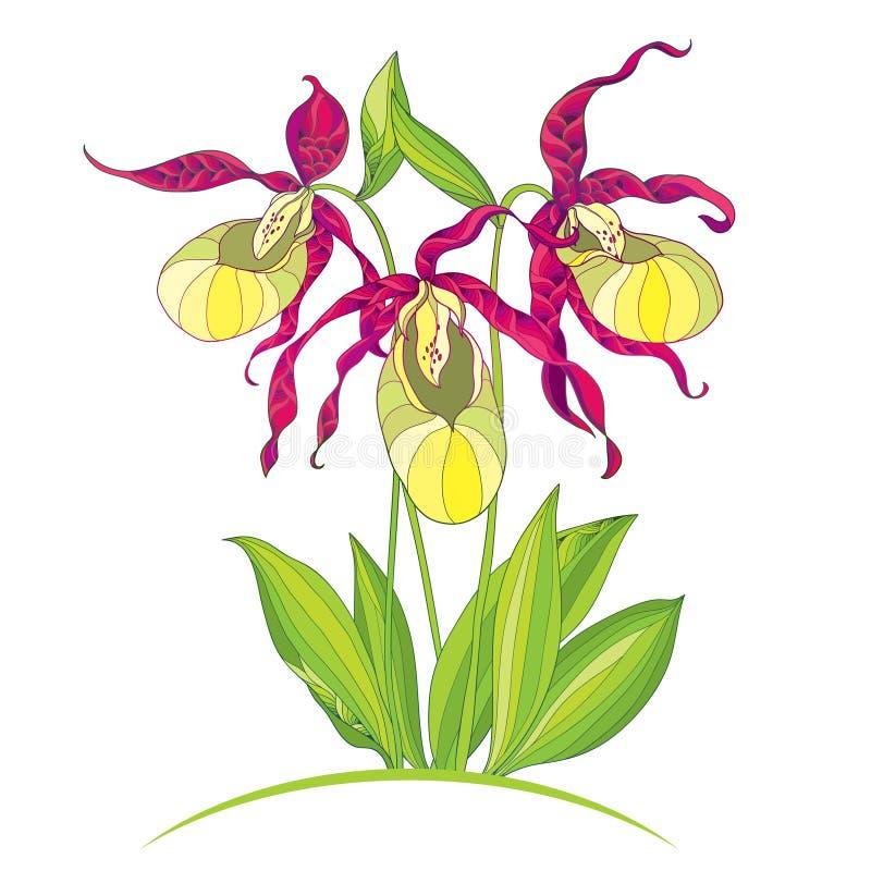 Vector иллюстрация орхидеи тапочки calceolus Cypripedium чертежа руки или ` s дамы на белой предпосылке иллюстрация штока