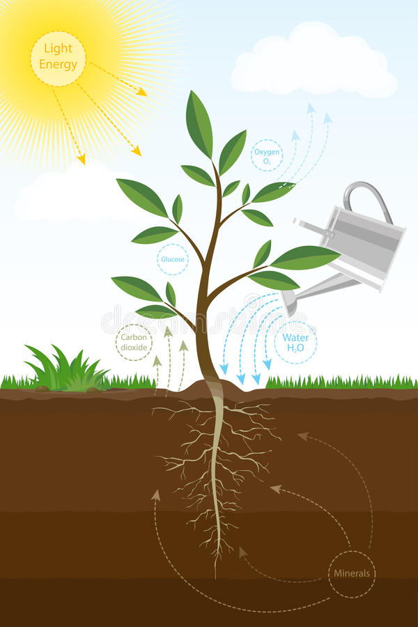 Vector иллюстрация процесса фотосинтеза в заводе Схема биологии фотосинтеза для образования иллюстрация штока