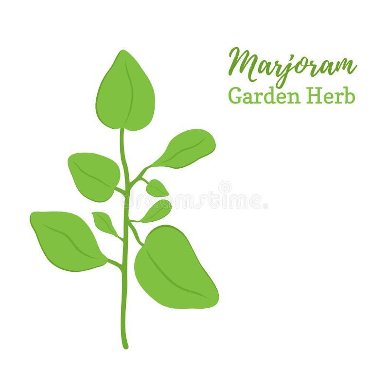 Vector майоран, приправляя специя, органическая трава, еда иллюстрация штока