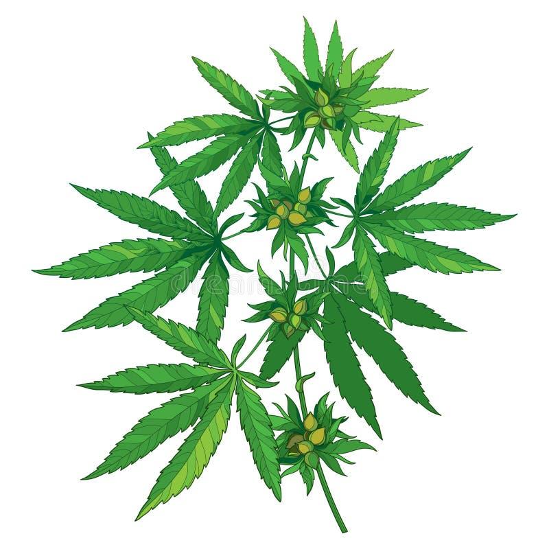 Vector пук с коноплей плана sativa или коноплей indica или марихуаной Ветвь, листья зеленого цвета и семя изолированные на белизн иллюстрация штока