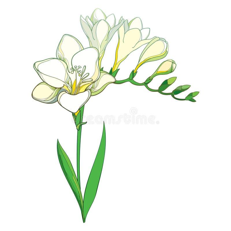 Vector пук цветка Freesia плана белый при листья бутона и зеленого цвета изолированные на белой предпосылке Душистый Freesia заво иллюстрация штока