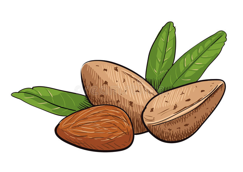 Vector almond clip art royalty free stock images