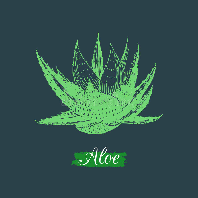 Vector aloe illustration isolated. Hand drawn botanical sketch of agave. Cosmetic, medicinal herb logo. vector illustration