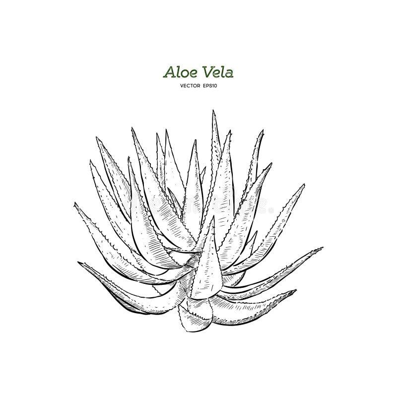Vector hand drawn botanical Aloe Vera stock illustration