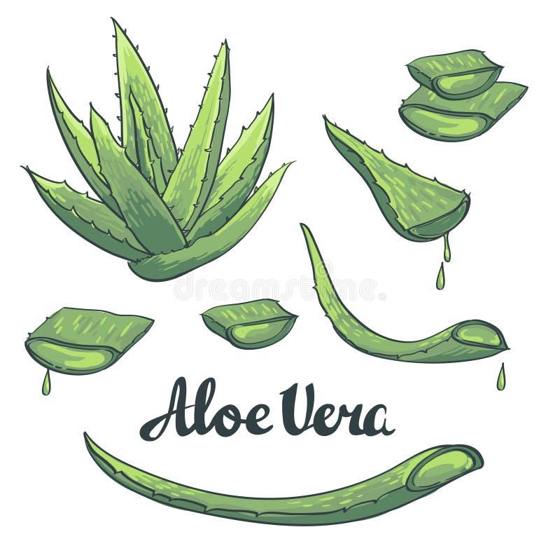 Vector Aloe vera hand drawn set. royalty free illustration