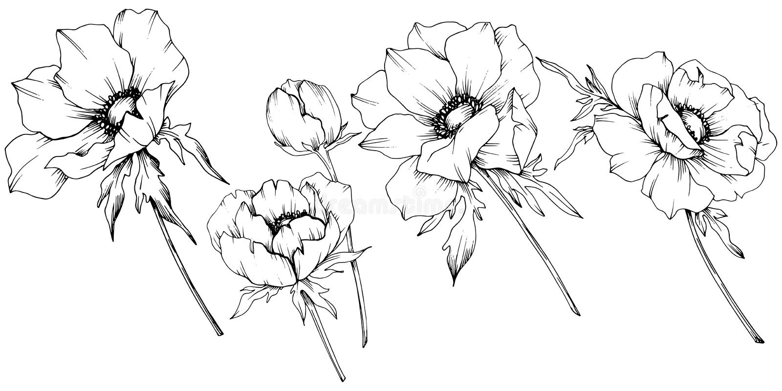 Vector Anemone floral botanical flowers. Black and white engraved ink art. Isolated anemone illustration element. Vector Anemone floral botanical flowers. Wild vector illustration