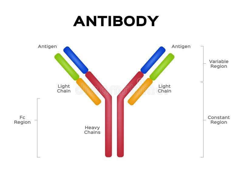 Vector/antígeno de la célula de la molécula del anticuerpo ilustración del vector