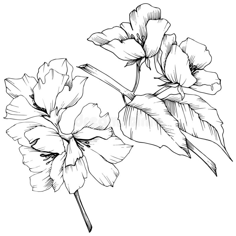 Vector. Appe blossom flowers. Wild spring leaf. Isolated apple b. Vector. Appe blossom flowers. Black and white engraved ink art. Wild spring leaf. Isolated royalty free illustration