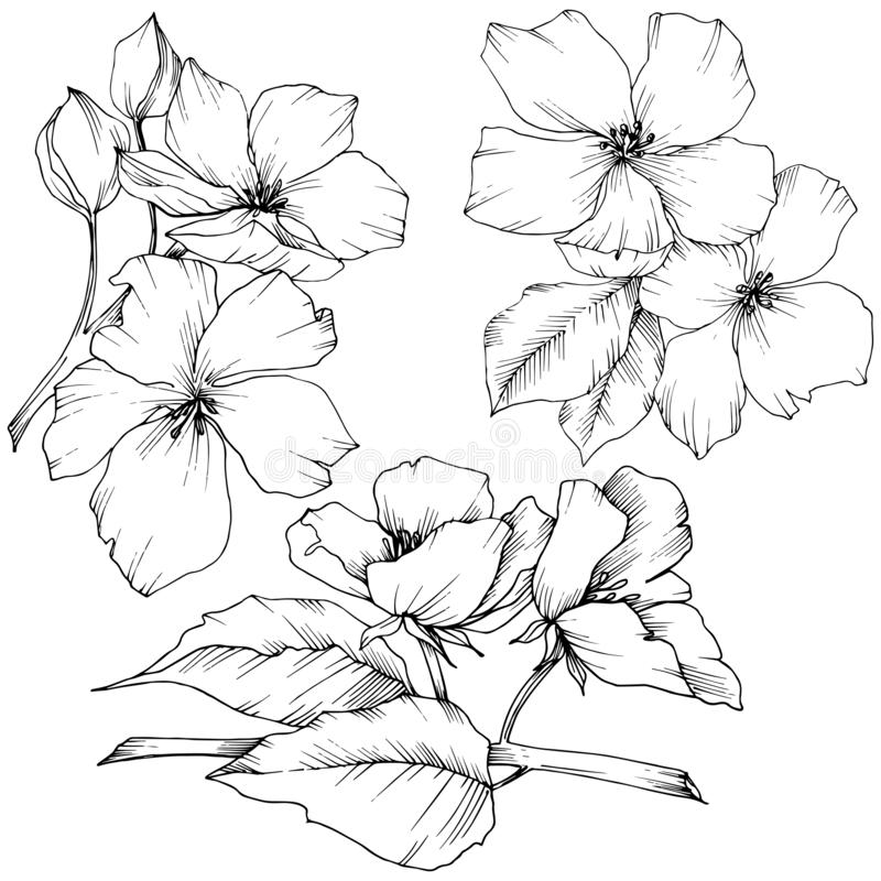 Vector. Appe blossom flowers. Wild spring leaf. Isolated apple b. Vector. Appe blossom flowers. Black and white engraved ink art. Wild spring leaf. Isolated vector illustration