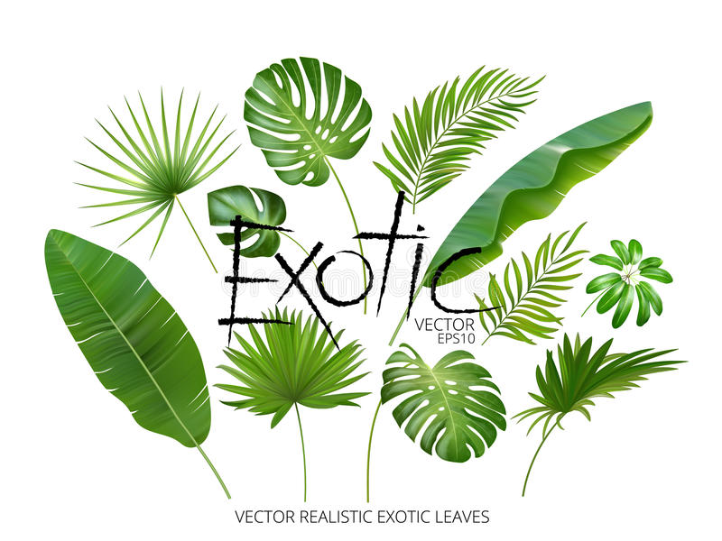 Vector as folhas exóticas tropicais, folhas realísticas da selva ajustadas isoladas no fundo branco Coleção em folha de palmeira  ilustração royalty free