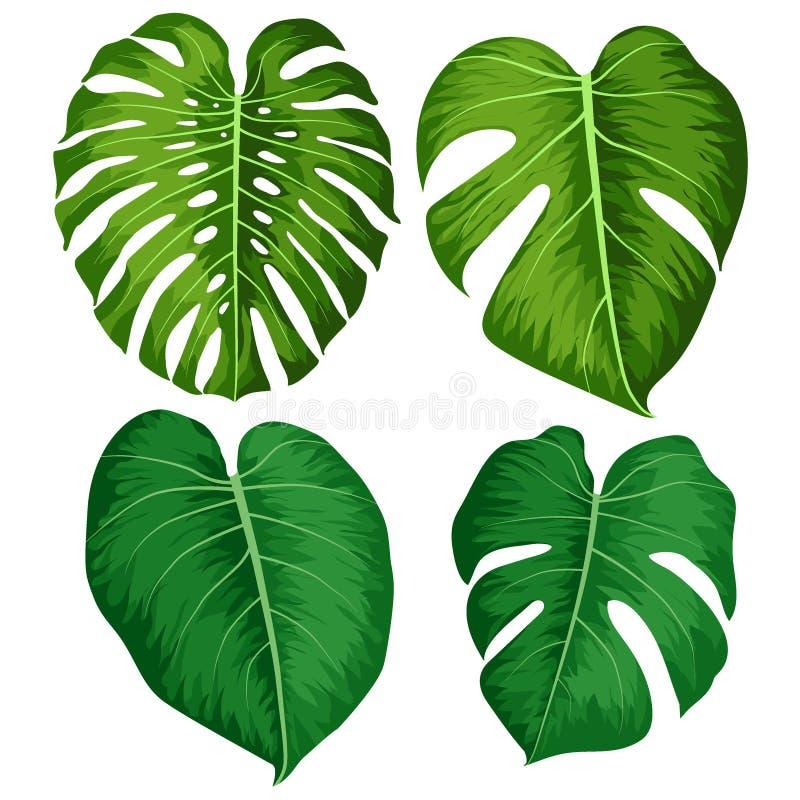 Vector as folhas verdes grandes da planta tropical de Monstera isolada no fundo branco ilustração royalty free