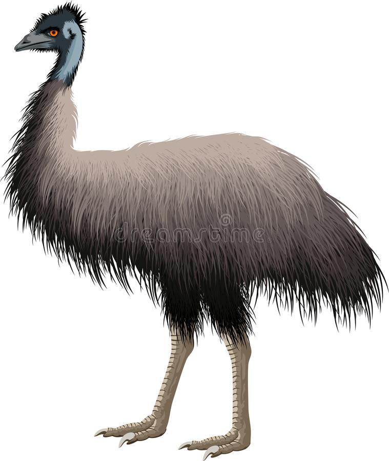 Free Vector Australian Ostrich Emu Isolated On White Stock Photos - 121003633