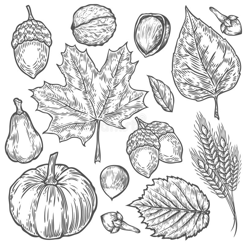 Vector autumn hand drawn set of leaf, nut, pumpkin, wheat, cloves, hazelnut, walnut, acorn. Vector engraved objects. Detailed royalty free illustration