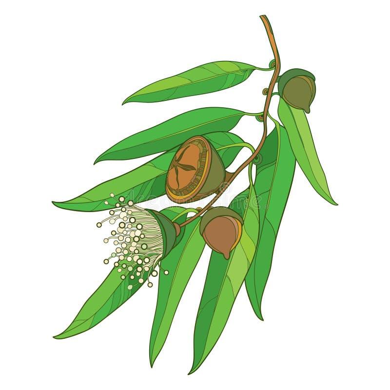 Vector Bündel mit Entwurf Eukalyptus globulus oder tasmanischer blauer Gummi, Frucht, Blume und Grünblätter auf weißem Hintergrun lizenzfreie abbildung