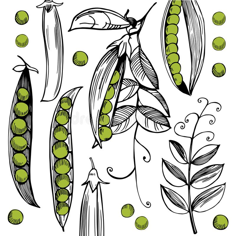 Vector background with hand drawn peas. Vector background with hand drawn green peas on white background vector illustration