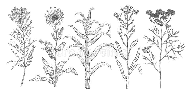 Vector background set with drawing wild plants, herbs and flowers, monochrome botanical illustration in vintage style, natural flo. Ral template. Anis, arnica vector illustration