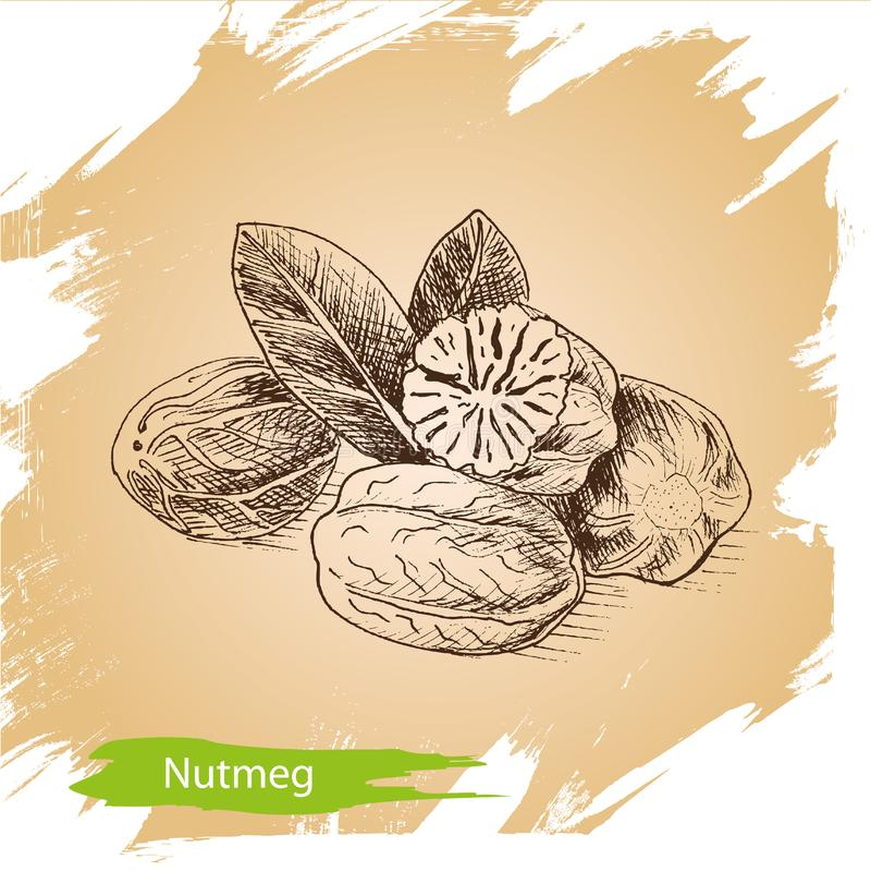 Vector background sketch nutmeg. Illustration spices. stock illustration