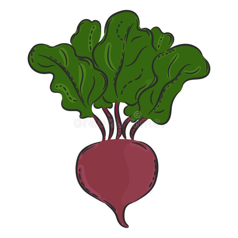 Vector beet hand drawn vector illustration
