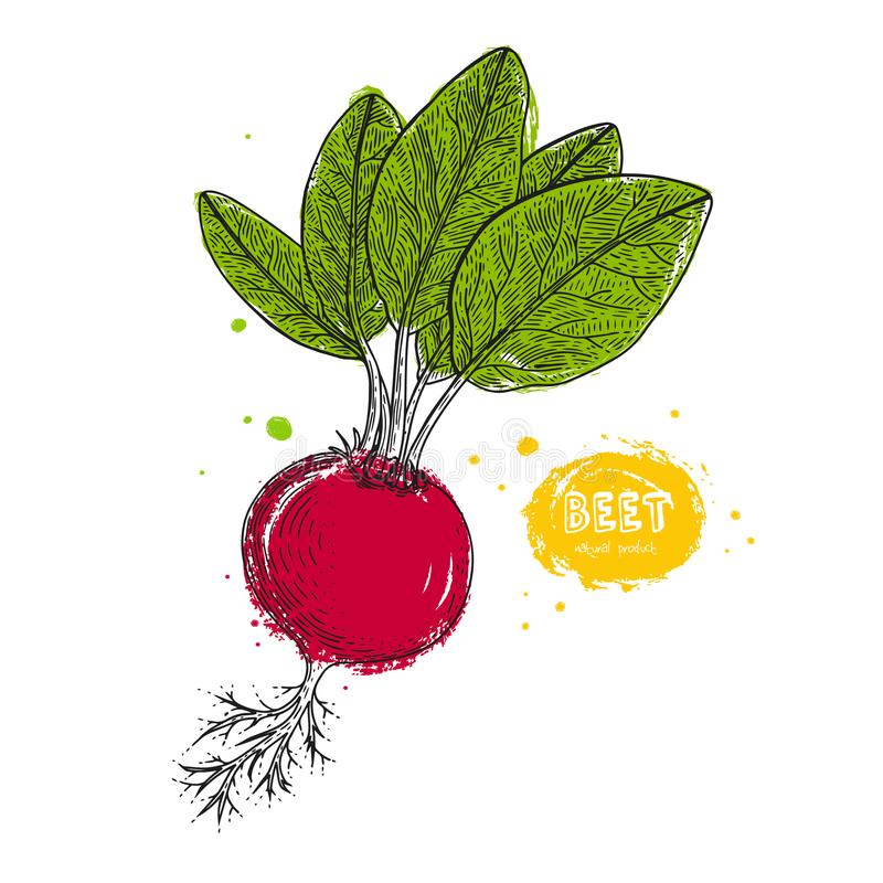 Vector beet hand drawn illustration in the style of engraving. Detailed vegetarian food drawing. Farm market product royalty free illustration