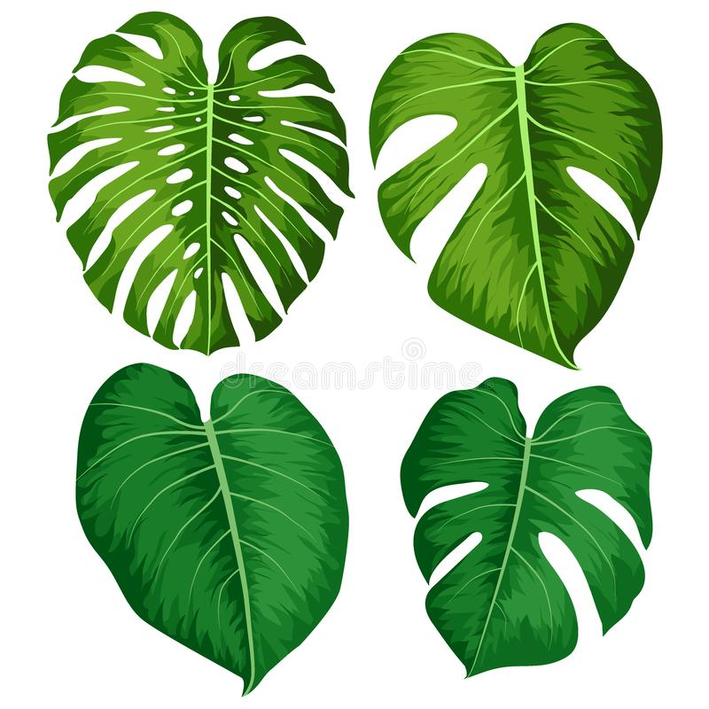 Vector big green leaves of tropical Monstera plant isolated on white background royalty free illustration