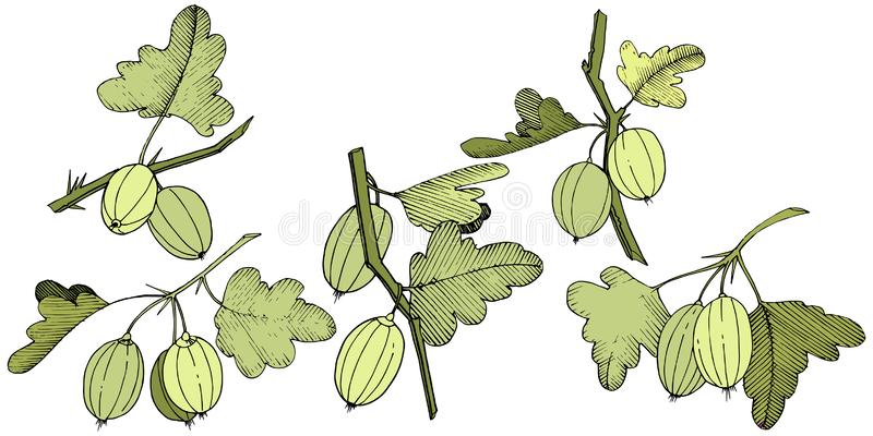 Vector. Black and white engraved ink art. Isolated gooseberry il royalty free illustration