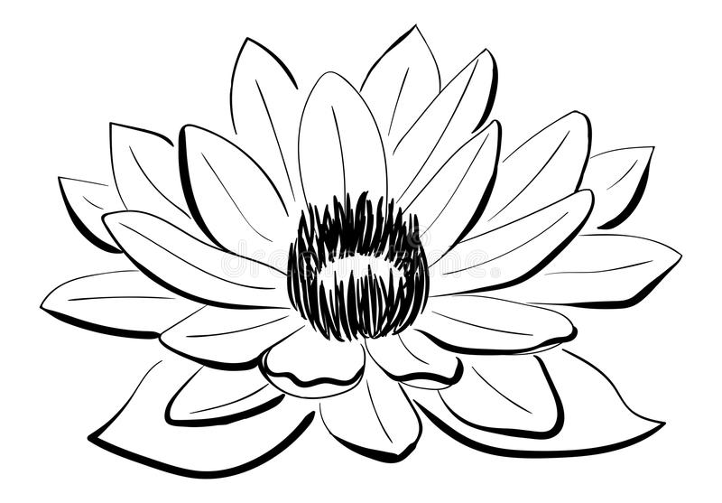 Lotus Flower Line Drawing Vector Free Download : Vector black and white lotus flower stock
