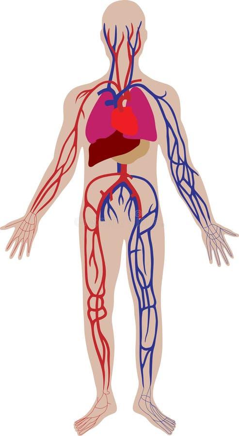 vector bloedsysteem van de persoon royalty-vrije illustratie