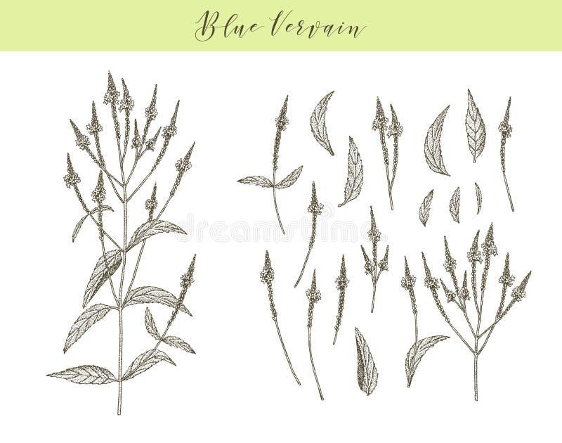 Blue Vervain Stock Illustrations – 36 Blue Vervain Stock