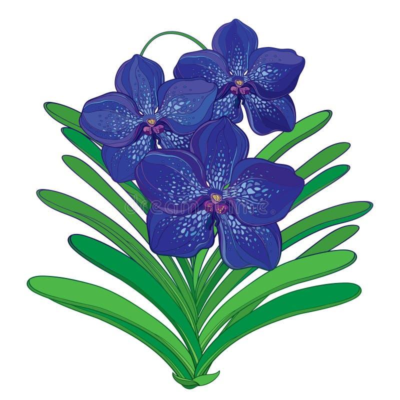 Vector Blumenstrauß mit Entwurf blauer Vanda-Orchideenblume und grünen dem Blatt, die auf weißem Hintergrund lokalisiert wird Tro lizenzfreie abbildung