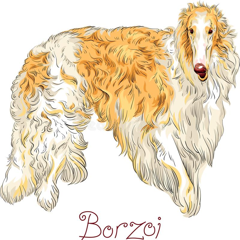 Vector Borzoi Dog breed. White with brown coated dog breed Borzoi or Russian wolfhound isolated on the white background stock illustration