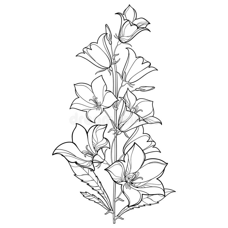 Vector bouquet with outline Campanula or Bellflower or Bluebell flower, leaf and bud in black isolated on white background. Perennial ornate plant in contour stock illustration